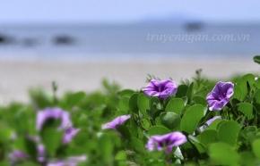 Hoa muống biển