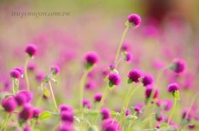 Con muốn trồng hoa Bách Nhật nơi này