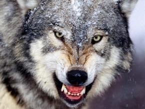 Chó Sói mài răng