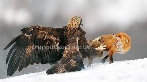 Chim ưng và cáo