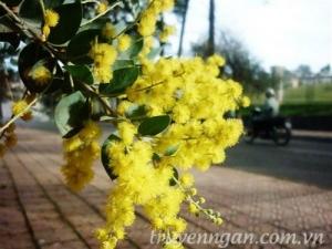 Con đường có hoa mimosa