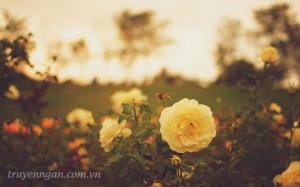 Đóa hồng vàng trong nắng