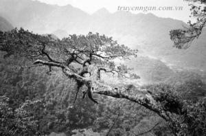 Bà già trên cây bách xanh