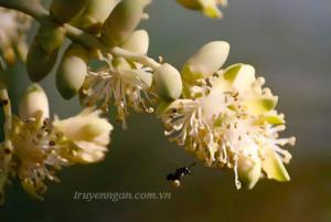 Hoa cau nở muộn