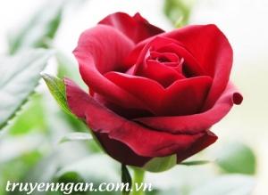 Bài học từ hoa hồng kiêu hãnh